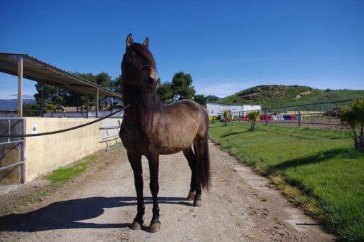 PRESAGIO ANDALUSIAN SPANISH HORSE