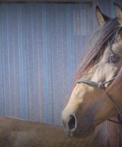 VERKAUF VON Sizilianischen Pferden